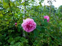 Pale pink tea rose blooms in the garden next to a thin white birch. Pale pink tea rose blooms on a bush in the garden next to a thin white birch stock photo