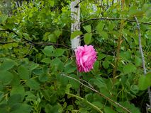 Pale pink tea rose blooms in the garden next to a thin white birch. Pale pink tea rose blooms on a bush in the garden next to a thin white birch royalty free stock photo