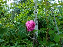 Pale pink tea rose blooms in the garden next to a thin white birch. Pale pink tea rose blooms on a bush in the garden next to a thin white birch royalty free stock photography