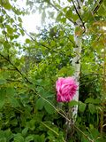 Pale pink tea rose blooms in the garden next to a thin white birch. Pale pink tea rose blooms on a bush in the garden next to a thin white birch stock image