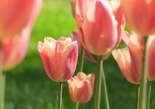 Pale Pink Tulips in Isolation. 20130426. Pale pink and pastel tulips with green in background. Baltimore, MD, USA stock photo