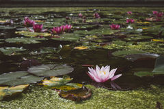 Pale Pink Water Lilly in the Blooming Pond. Stock Photos
