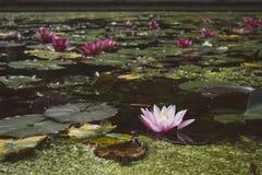 Pale Pink Water Lilly dans l'étang de floraison Photos stock