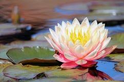 Pale Pink Water Lily immagine stock libera da diritti