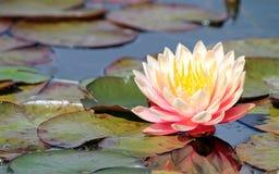 Pale Pink Water Lily fotografia stock libera da diritti