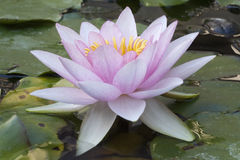 Pale Pink Water Lily (Nymphaea) Stock Photography