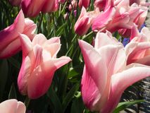 Pale Pink and White Tulips. Blooming under the sun Stock Photography