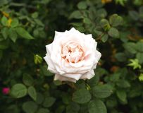 Pale Pink Wild Rose Flowers avec la forme rayonnante Image stock