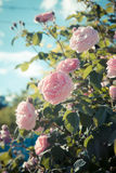 Pale pink wild roses. Flower background with pale pink wild roses bush. Toned image Royalty Free Stock Photos