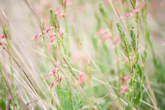 Pale Pink Wildflower Blur Background. Small pastel pink wildflowers blowing in the breeze create a soft pretty background image stock images