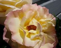 Pale Pink and Yellow Rose Stock Photos