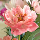 Pale pnk tree peony Stock Photos