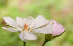Pale Poppy Mallow flower wide open Royalty Free Stock Images
