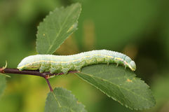 A Pale Prominent Caterpillar Pterostoma palpina perched and feeding on a leaf. Stock Images