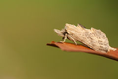 A Pale Prominent Moth Pterostoma palpina perched on a leaf. Stock Photos