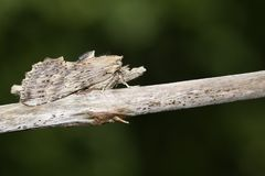Pale Prominent sbalorditivo, palpina di Pterostoma, appollaiato sul gambo di una pianta immagini stock libere da diritti