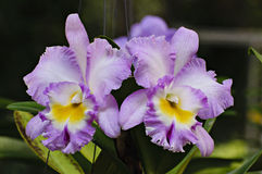Pale purple cattleya orchid flowers Stock Photography