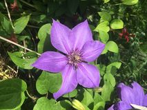 Pale purple clematis. Large six petaled flower royalty free stock photo