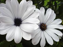 Pale Purple Daisies Royalty Free Stock Photography