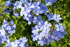 Pale purple flowers or Plumbago. stock photo