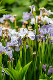 Pale Purple Irises in Garden stock images