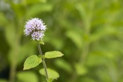 Pale purple mint flower. Pale purple water mint flower in front of green plants Royalty Free Stock Photo