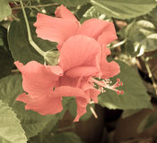 Pale red hibiscus Royalty Free Stock Photos