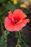 Pale Red Poppy Flower Closeup. Pale red poppy flower closeup on green background Stock Photos