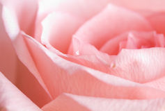 Pale rose Royalty Free Stock Photography