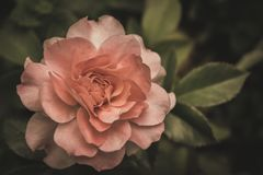 Pale rose in darkness. A pale rose glows in a dark environment royalty free stock photography