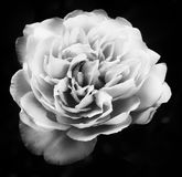 Pale rose Stock Photos
