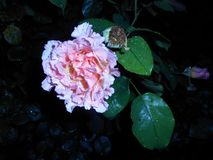 Pale rose. Pale pink rose flower after rain on dark background stock photo