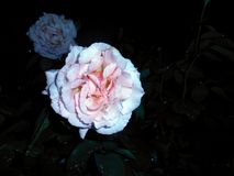 Pale rose. Pale pink rose flower after rain on dark background stock photography