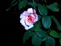 Pale rose. Pale pink rose flower after rain on dark background royalty free stock photo