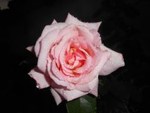 Pale rose. Pale pink rose flower after rain on dark background royalty free stock image