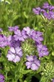 Single cluster of Lavender-pink Verbena blooms Stock Image