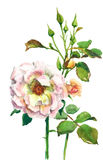 Pale rose Royalty Free Stock Image