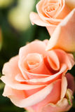 Pale roses. Pale  pink roses macro shot Royalty Free Stock Image