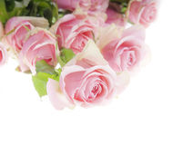 Pale roses. Beautiful fresh roses laid on white background Stock Images