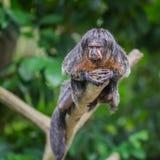 Pale Saks se trouve sur une branche et regarder vers le bas le zoo de Singapour Images libres de droits