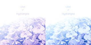 Pale shadow of purple blue Hydrangea flowers with sample text on white background stock image