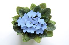 Pale sky blue saintpaulia african violet flower from above. Pale sky blue saintpaulia african violet potted flower from above. Symbol of unaffectedness and Royalty Free Stock Photo