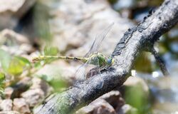Free Pale Snaketail Dragonfly Ophiogomphus Severus Perched On A Log In Northern Colorado Stock Photos - 179082373