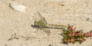 Free Pale Snaketail Dragonfly Ophiogomphus Severus Perched On The Ground In Northern Colorado Stock Images - 179085754