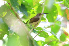 Pale Spiderhunter Stock Photography