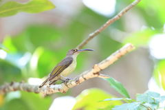 Pale Spiderhunter Royalty Free Stock Image
