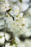 Pale Spring blossom  macro Royalty Free Stock Photos