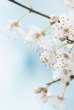 Pale Spring. Blossom macro image Royalty Free Stock Photos