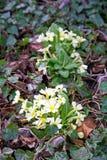 Pale springtime primroses. Bregana Pisarovinska, Croatia, Europe Stock Image