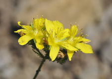 Pale St John's-wort. Hypericum montanum Royalty Free Stock Images